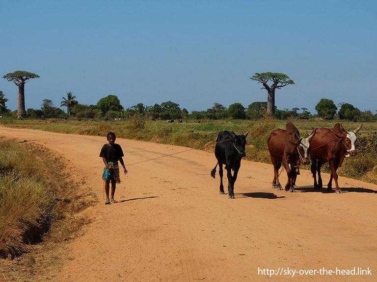セブ牛の番/Baobab Road(Madagascar)